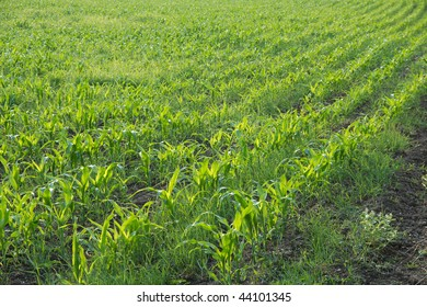 Agricultural field with rows of plants