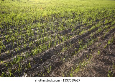 Agricultural field with rows of small plants