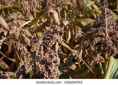 agricultural field of Sorghum bicolor