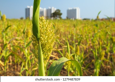 Agricultural field of sorghum. Other names include jowar, juwar, durra, Egyptian millet, feterita, Guinea corn, milo shallu and solam