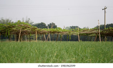 Agricultural field view in Bangladesh. In the distance is the jungle of Lau. Green nature all around.