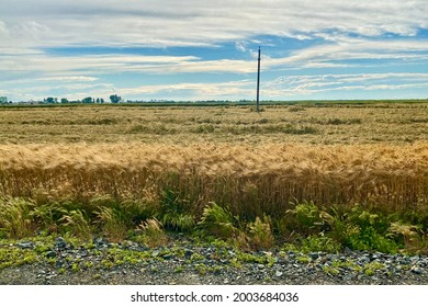 Agricultural field with wheat moving by the wind and an electrical pole under the cloudy sky.