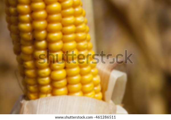gif-corn-mature-from-seed