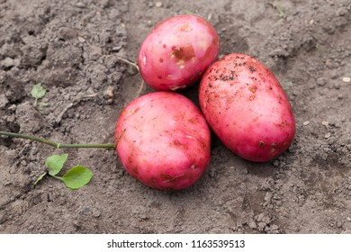 an agricultural field, where large red potato varieties were dug from the soil, which ripens earlier than others, a close-up in the sumer