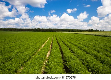 agricultural field, where the rows of carrots grown