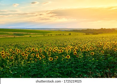 Agricultural field with yellow sunflowers against the sky with clouds. Gold sunset.