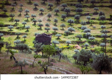Agricultural fields of olive trees in Tras os Montes region in Portugal.