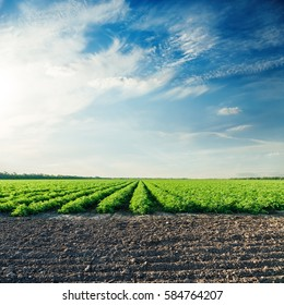 agricultural fields with tomatoes and sunset in blue sky