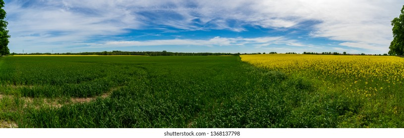 Agricultural grounds. Panoramic view of the rapeseed field. Half blooming field.