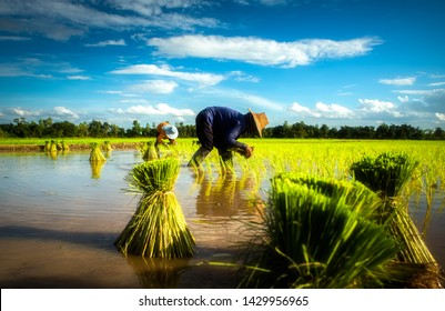 Agricultural labor workers are farming rice in the field gathering for Together working according to traditional wisdom handmade agriculture without toxins and pesticides,countryside lifestyle of Asia