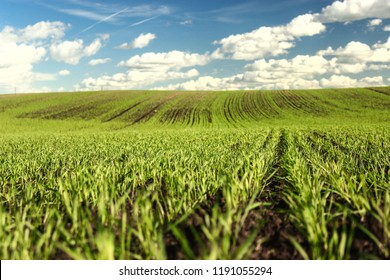 Agricultural land in close up. a huge field and a vast landscape with winter cereals. Farming in Latvia.