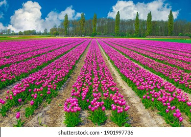 Agricultural land with colorful pink tulip fields near Leiden, Netherlands, Europe