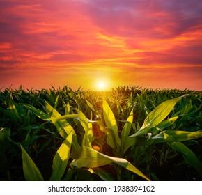 Das landwirtschaftliche Land eines grünen Maisbauernhofs mit einem perfekten Himmel. Standort der ukrainischen Landwirtschaft, Europa. Mais, der auf landwirtschaftlichen Flächen und bebauten Feldern angebaut wird. Fototapete. Schönheit der Erde.