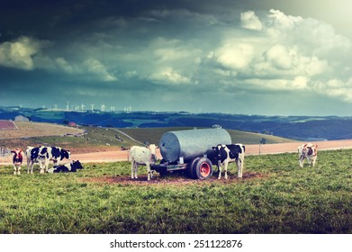 Agricultural landscape with cow herd at green field