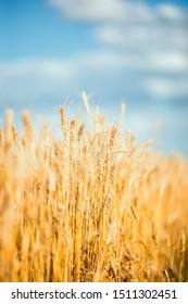 agricultural landscape with field with ears of ripe Golden wheat on farm in summer Sunny day