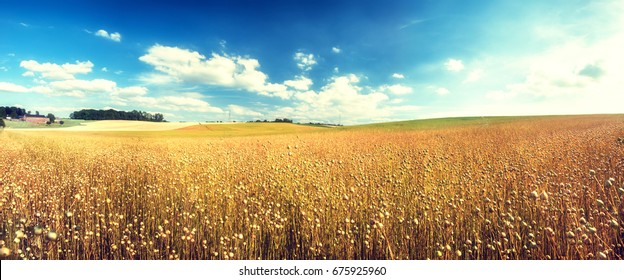 Agricultural landscape with flax seed field. Nature background