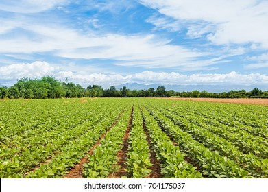 Agricultural landscape. Green field of soy with blue sky and clouds.