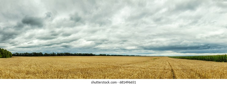 Agricultural landscape panorama. Rural summer landscape - wheat field and corn fields. Fields of wheat and corn, blue sky and space for text.