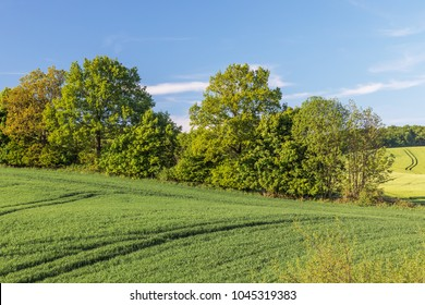 Agricultural landscape with wheat field and a hedgerow with trees and shrubs in Schleswig-Holstein, Germany. In the background barley field.
