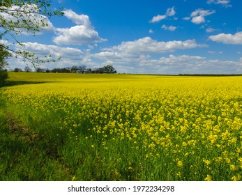agricultural landscape, yellow field of blooming rapeseed