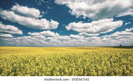 Agricultural landscape with Yellow flowering canola field and perfect blue sky. Blooming canola flowers under sunlight. panorama image. Rural scenery. natural energy products. Rich harvest concept.