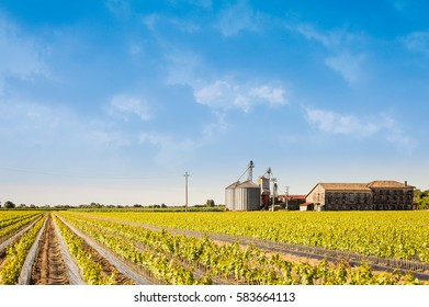 Agricultural landscape.Field of young vine.Rooted graft of vine.Silos and abandoned farm.