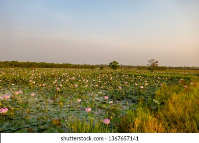Agricultural lotus ponds in bloom in rural Kampong Tralach, Cambodia in early morning.