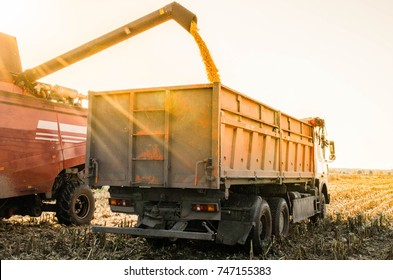 Agricultural machinery gathering ripe maize crops. Combine, harvesting of maize grain. Combine harvester auger unloading harvested corn into tractor trailer. Harvesting corn by combine harvester.