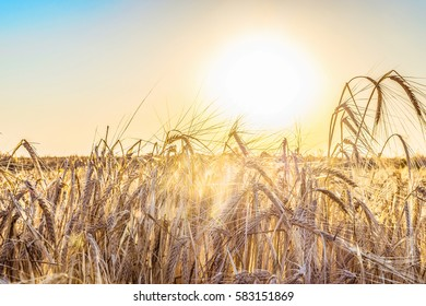 Agricultural natural background with ripe spikelets of rye in the rays low sun backlight - Shutterstock ID 583151869