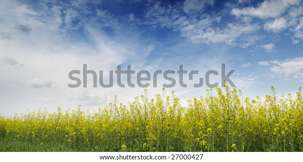Agricultural panorama landscape with blue cloud sky and blooming yellow buckwheat