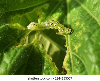 Agricultural pests. Caterpillar of cabbage looper moth (Trichoplusia ni) crawling on an badly damaged pumpkin leaf, in bright sun light.