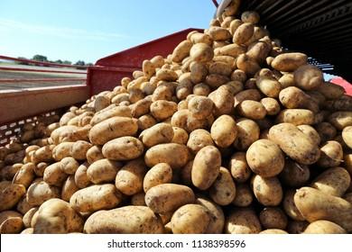 Agricultural potato harvest