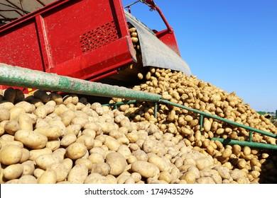 Landwirtschaftliche Kartoffelernte mit Erntemaschine