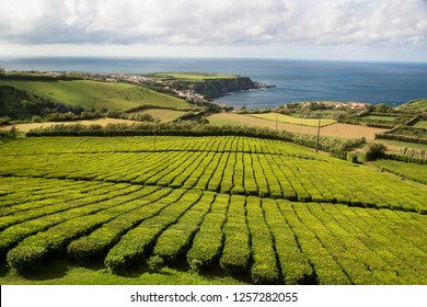 agricultural production fields with rows of tea bushes, the only tea estates in the whole of Europe, azores islands