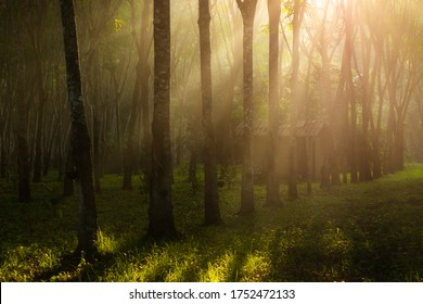 Agricultural rubber tree (Hevea Brasiliensis) with beautiful sunbeam in morning in southern of Thailand