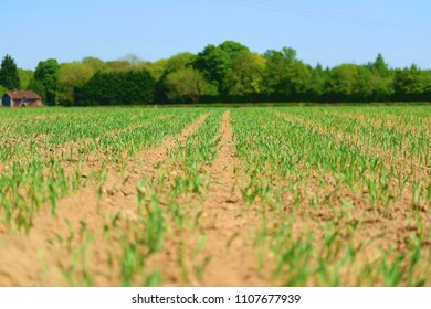 Agricultural scene - crops growing from soil in neat rows , trees and blue sky in background
