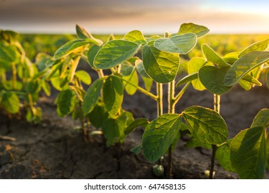 Agricultural soy plantation on sunny day - Green growing soybeans plant against sunlight