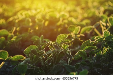 Agricultural soybean field against the warm sunset light