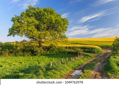 Agricultural spring landscape with meadow, canola field, oak and farm track in Schleswig-Holstein, Germany.