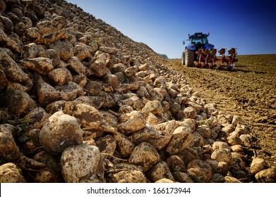 Agricultural vehicle harvesting sugar beet