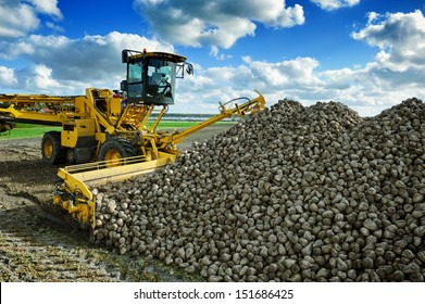 Agricultural vehicle harvesting sugar beets at sunny autumn day