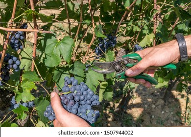 Agricultural worker cuts a bunch of black grapes in the vineyard during the harvest