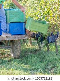 An agricultural worker throws the boxes for the harvesting of grapes in the vineyard of a Chianti winery, Tuscany, Italy