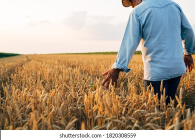 agricultural worker walking trough wheat field touching wheat