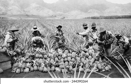 Agricultural workers possibly Japanese-Americans harvesting pineapples on a plantation in Hawaii ca. 1920. Japanese Americans started emigrating to Hawaii and the American west coast in 1885.