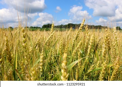 Agriculture, agronomy and farming background. Summer countryside landscape with field of ripening wheat close up in a shallow depth of field against blue sky out of focus. Wisconsin, Midwest USA.