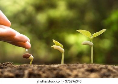 Agriculture , Baby plants seeding - Farmer hand watering young baby bean plants seedling on fertile soil with green background