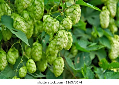 Agriculture Background - crop of fresh ripe hop.