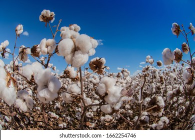 Agriculture - Beautiful, perfect cotton capsules with blue sky, sunset, high productivity - Agribusiness