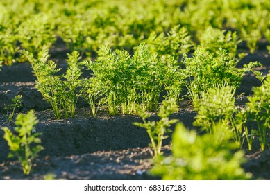Agriculture, carrot field in summer, rows of plant, sunset time